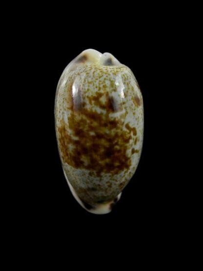 Cypraea cylindrica f. sowerbeyana 31,5 mm Gem-0