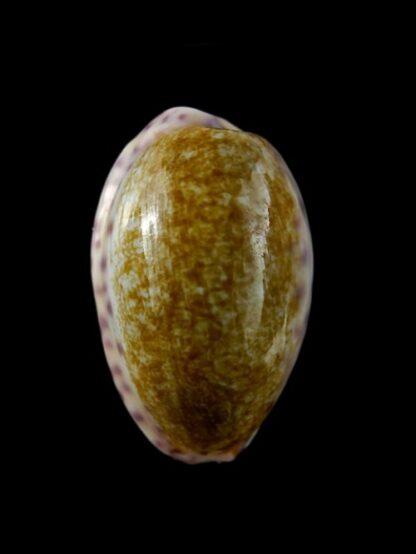 Cypraea chinensis variolaria Gem 33,8 mm --0
