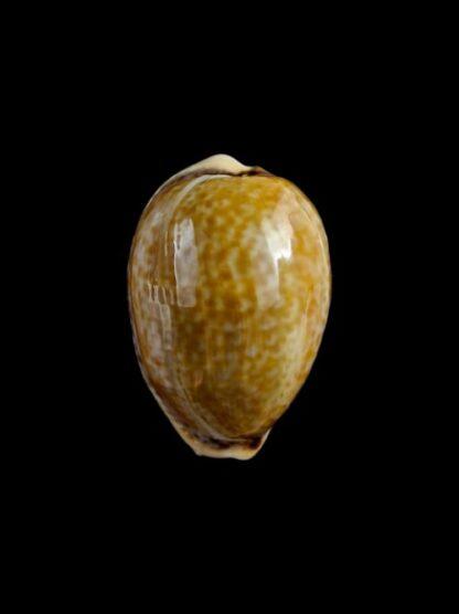 cypraea spurca 29,7 mm Gem-0