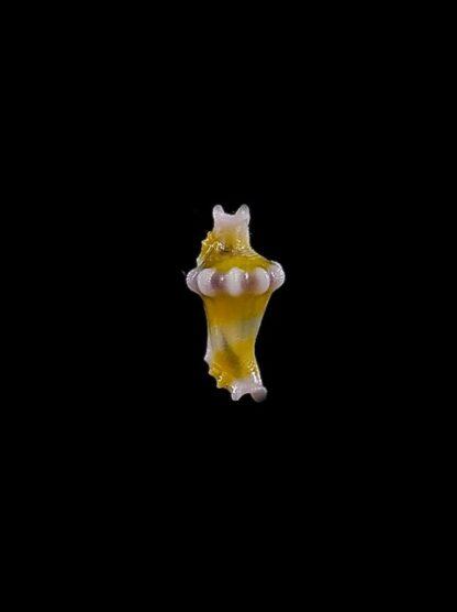 Rotaovula hirohitoi Gem 7 mm-0