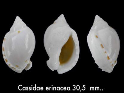 Casmaria erinacea erinacea Gem 30,5 mm-0