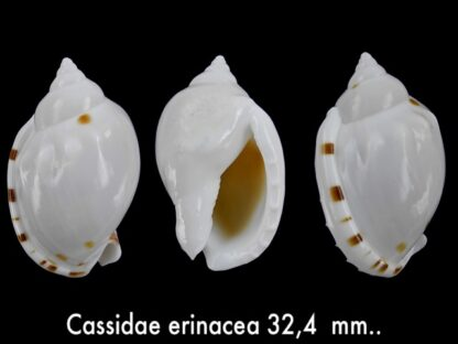 Casmaria erinacea erinacea Gem 32.4 mm-0
