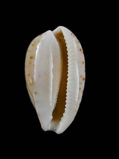 Notocypraea comptonii mayi 26,5 mm F+++/Gem-13246