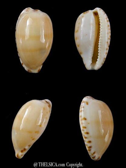 Notocypraea comptonii mayi 20,4 mm F+++/Gem-0