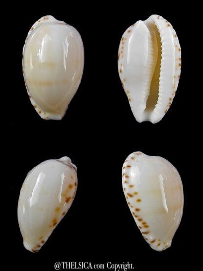 Notocypraea comptonii mayi 20,4 mm Gem-0