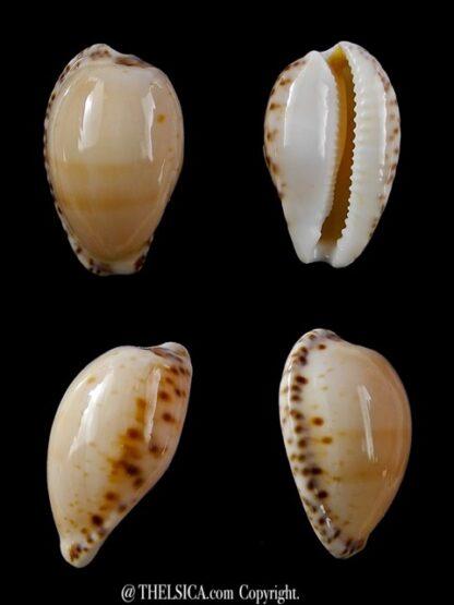 Notocypraea comptonii mayi 22 mm Gem-0