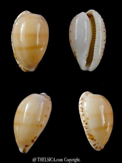 Notocypraea comptonii mayi 23,2 mm Gem-0