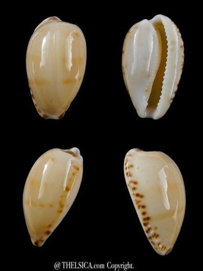 Notocypraea comptonii mayi 23,7 mm F+++/Gem-0