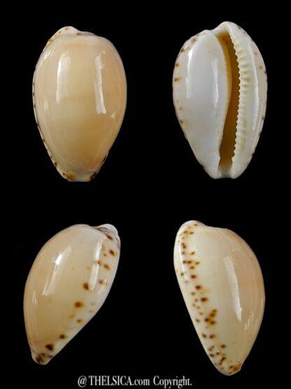 Notocypraea comptonii mayi 23,8 mm Gem-0