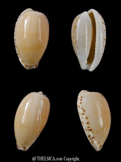 Notocypraea comptonii mayi 26,5 mm F+++/Gem-0