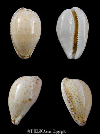 Notocypraea declivis 25,4 mm Gem.-0