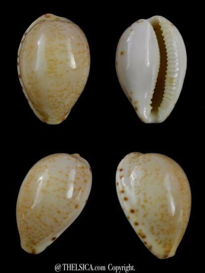 Notocypraea declivis 23,8 mm Gem.-0