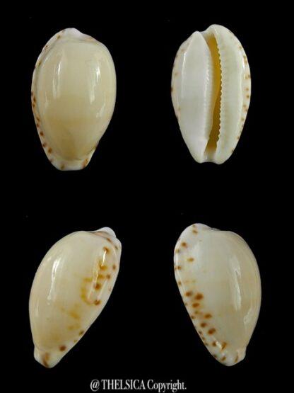 Notocypraea comptonii mayi 22,7 mm Gem-0