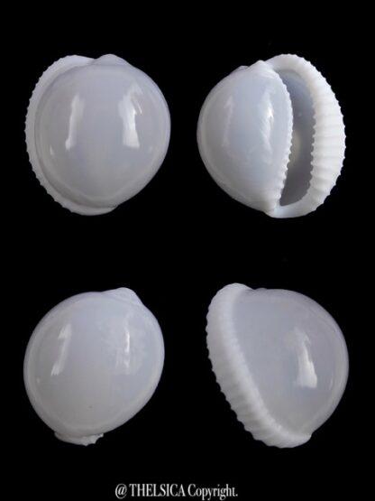 Trivella millardi 18,5 mm Gem-0