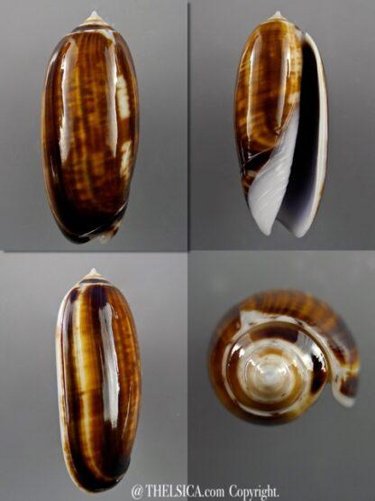 Miniaceoliva ornata 46,2 mm Gem-0