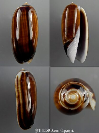 Miniaceoliva ornata 46,3 mm Gem-0