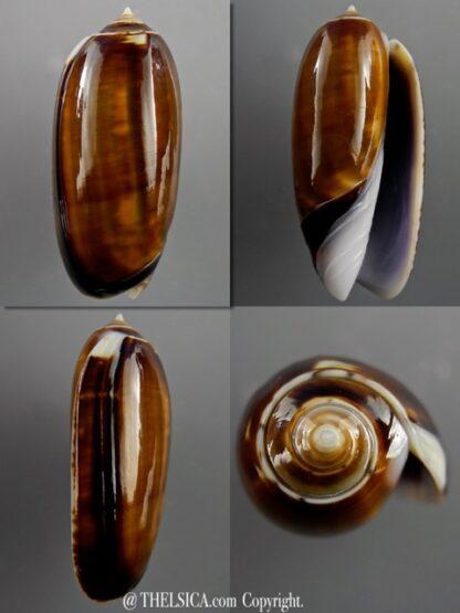Miniaceoliva ornata 47,4 mm Gem-0