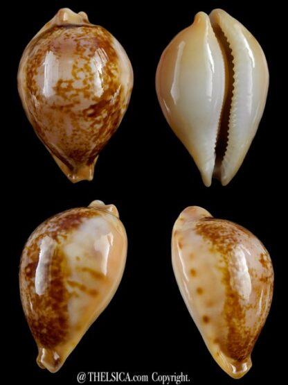Austrasiatica hirasei 43,2 mm Gem-0