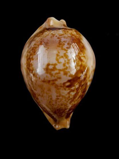 Austrasiatica hirasei 43,2 mm Gem-17609