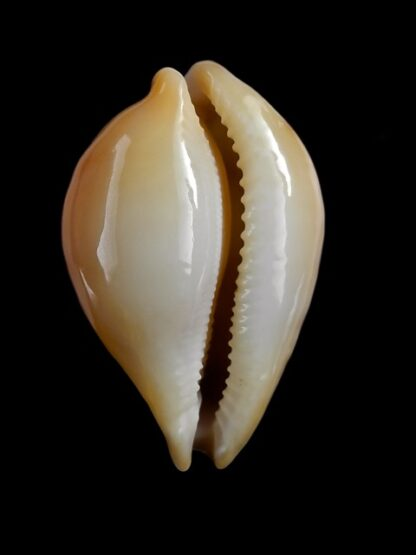 Austrasiatica hirasei 43,2 mm Gem-17607