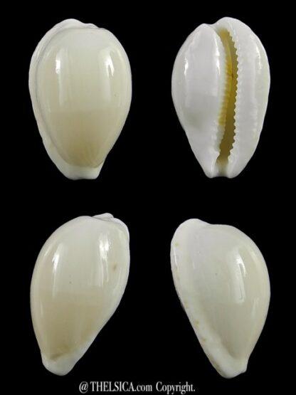 Cypraea comptonii mayi f. casta 20,3 mm Gem-0