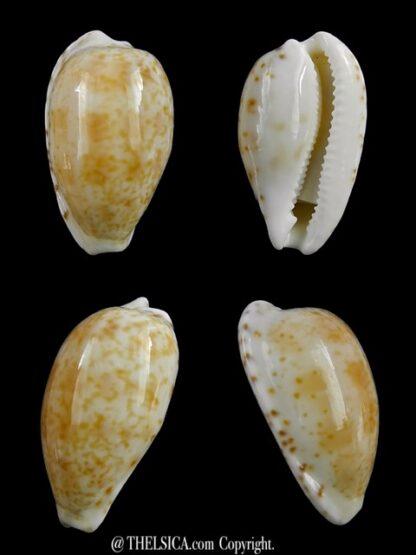 Notocypraea piperita piperita 22,3 mm Gem-0