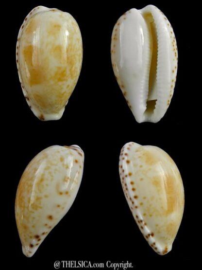 Notocypraea piperita piperita 23,6 mm Gem-0