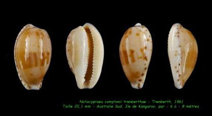 Notocypraea comptonii treberthae 20,1 mm Gem-0