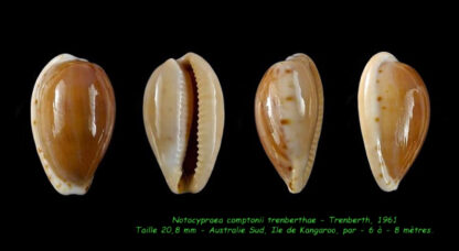 Notocypraea comptonii treberthae 20,8 mm Gem-0