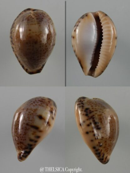 Notocypraea declivis dennyorum 18,8 mm F+++/Gem-0