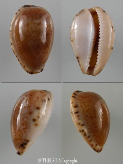 Notocypraea declivis dennyorum 20,9 mm F+++/Gem-0
