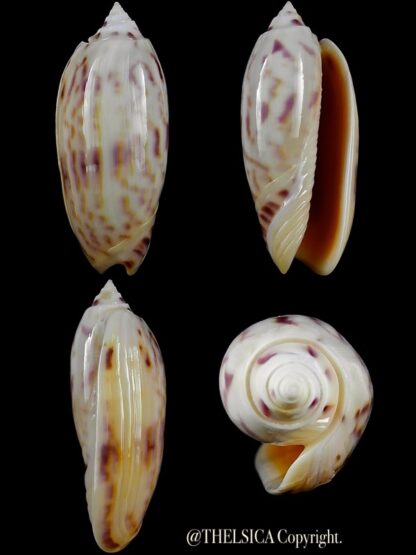Miniaceoliva efasciata thierryii 55,6 mm Gem-0