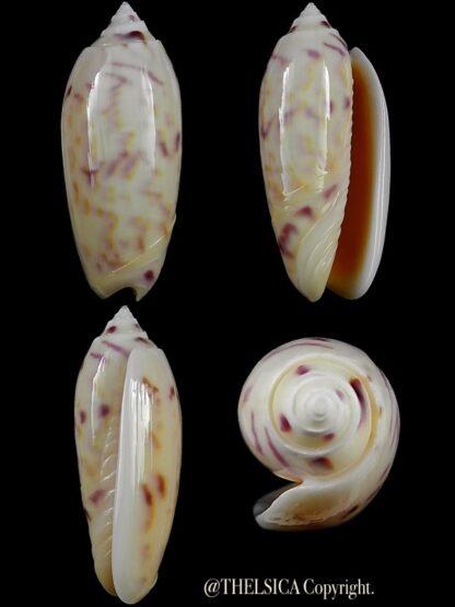 Miniaceoliva efasciata thierryii 50,2 mm Gem-0