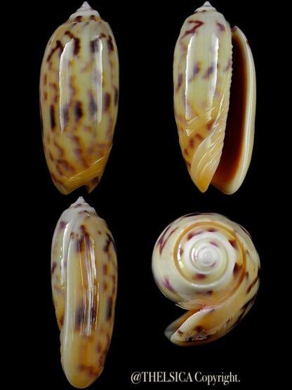 Miniaceoliva efasciata thierryii 48,2 mm Gem-0