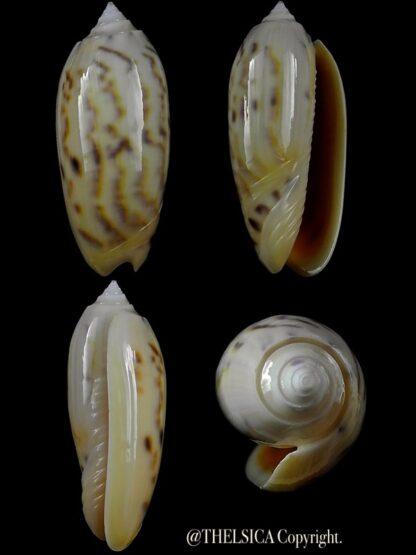 Miniaceoliva efasciata thierryii 53,2 mm Gem-0