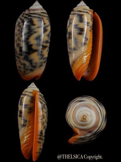 Viduoliva rubrolabiata 39,6 mm Gem-0
