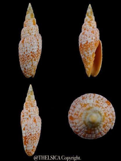 Neocancilla takiisaoi 50,4 mm Gem(-)-0