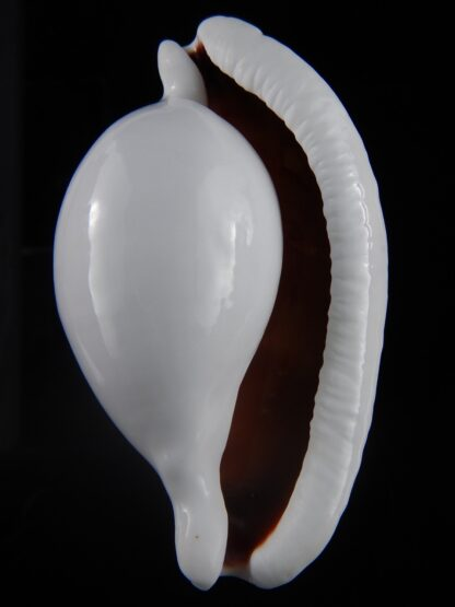 Ovula ovum... GIANT ... 103,6 mm Gem-33866