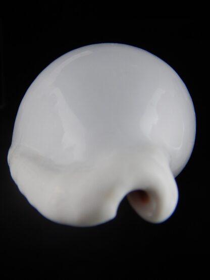 Ovula ovum... GIANT ... 103,6 mm Gem-33863
