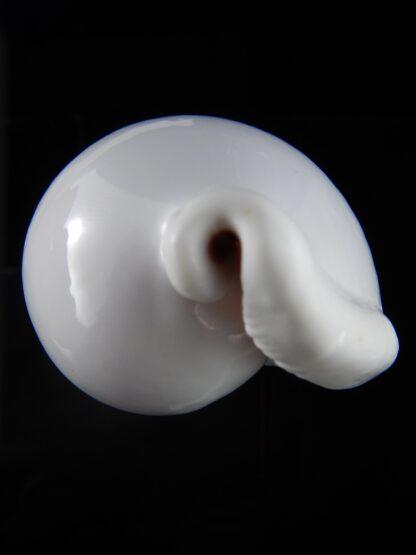 Ovula ovum... GIANT ... 103,6 mm Gem-33865