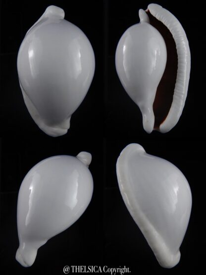 Ovula ovum... GIANT ... 103,6 mm Gem-0