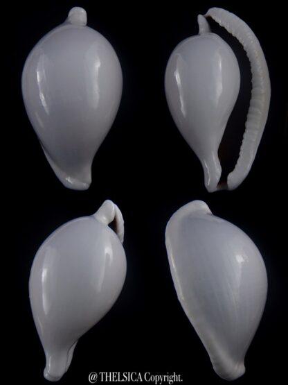 Ovula ovum... GIANT ... 106,6 mm Gem-0