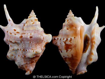 Sinustrombus taurus 87,6 mm Gem-0