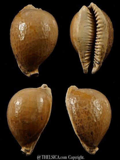 Austrocypraea contusa 23 mm-0