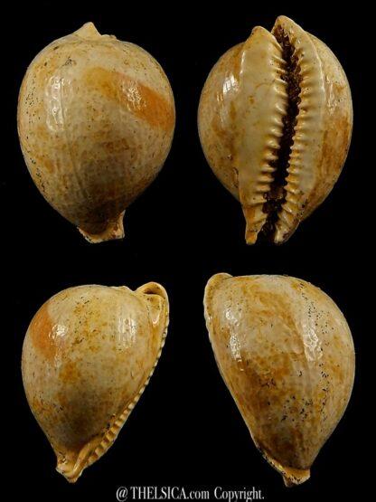 Austrocypraea contusa 24,5 mm-0