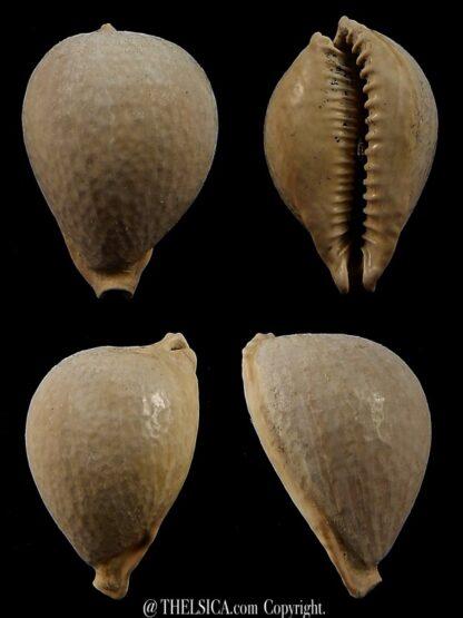 Austrocypraea contusa 28 mm-0