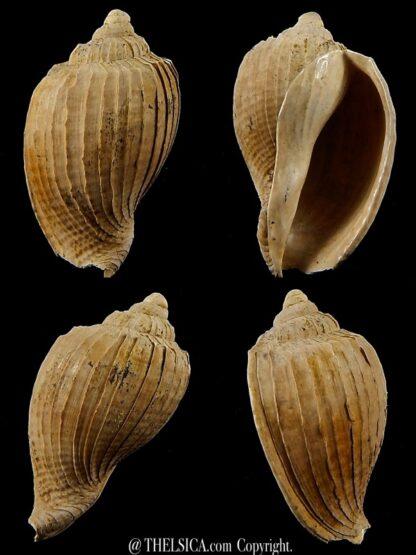 Austroharpa abbreviata 29,6 mm-0