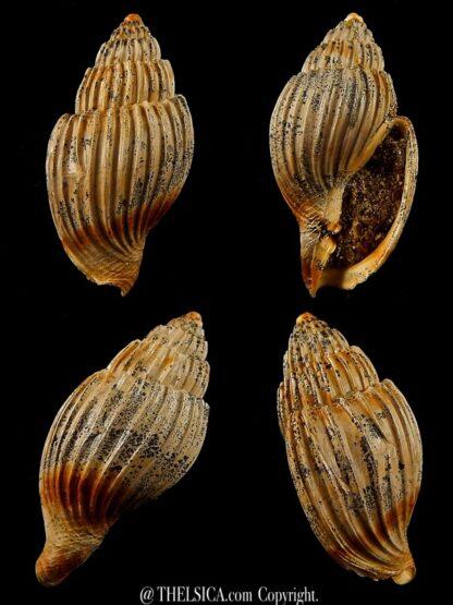 Lyria harpularia 36 mm-0