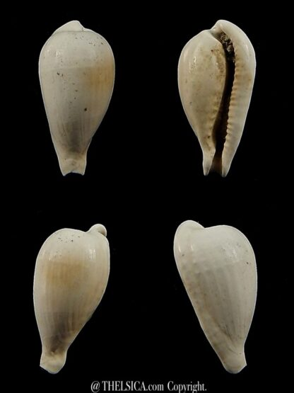 Notocypraea brachypyga 19,8 mm-0