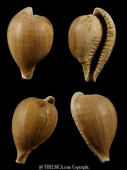 Notocypraea murraviana 17,7 mm-0